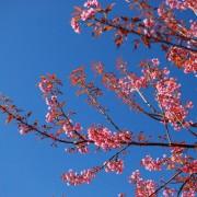 88889shutterstock_118142563---pembe-cicekli-dallar-ve-gokyuzu