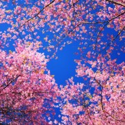 b4014shutterstock_141354628---pembe-cicek-dallari-ve-koyu-renkli-gokyzu
