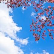 c0da6shutterstock_125099732---Bulutlu-gokyuzu-ve-pembe-cicekli-dallar