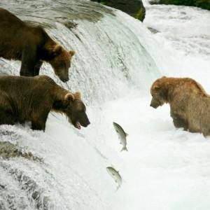 17c18shutterstock_11629339-Somon-baligi-avlayan-boz-ayilar,-Brooks-selalesi,-Katmai,Alaska