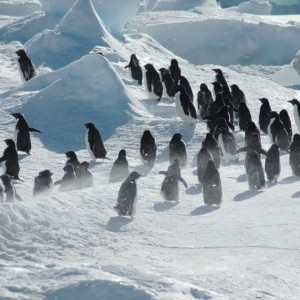 26fd5shutterstock_7770883--Antartikada-penguen-grubu
