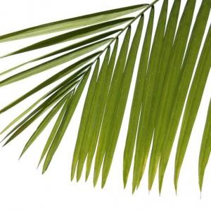 3b6a0shutterstock_5414326--Beyaz-arka-planda-palmiye-yapraklari