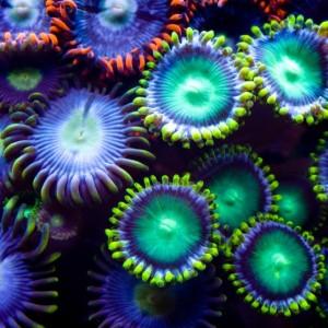 4c5dcshutterstock_58330075--cok-renkli-tuzlu-su-zoanthids--kolonisi