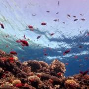 528c5shutterstock_109401983--Mavi-delikli-mercan,-Kizil-Deniz