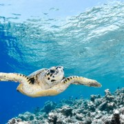 70a5bshutterstock_148388942---Hint-Okyanusunda-mavi-lagun-Hawksbill-deniz-kaplumbagasi-(eretmochelys-imbriicata)---Maldivler