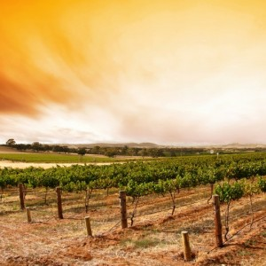 Sunrise over scenic vineyard