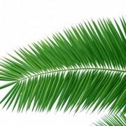 86dfdshutterstock_11662060--Beyaz-arka-plan-uzerinde-palmiye-dallari