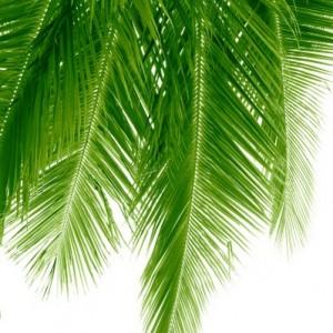 8e97bshutterstock_2014151---Asagi-uzanmis-uzun-ve-yesil-hindistan-cevizi-palmiyesi