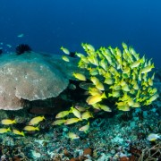 b0f90shutterstock_220297717---Bluestripe-baligi-Lutjanus-kasmira,-gili-buyuk-yildiz-mercan-Montastraea-kavernozunda,-Lombok,-nusa-tenggara-Barat,-endonezya