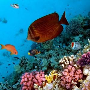 c52b7shutterstock_77378422--Bir-mercan-kolonisi,-Kizildeniz,-Misir